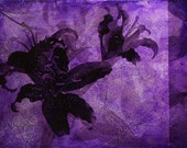 Black Lilies in Plum Metal Photo Art, 10x6 inches