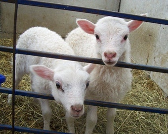 Heifer Project Twins 2. Baby animals farm animals nature photograph sheep and lambs