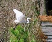 Egret image giant white, flying