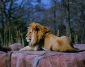 Africian lion male