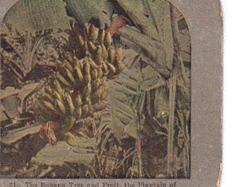 Vintage Stereoview Card: The Banana Tree and Fruit, GrifLith71