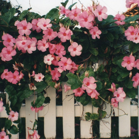 Pink Roses On White Picket Fence