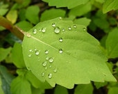 Balance - 8x10 Fine Art Nature Photograph - Leaf with Water Droplets