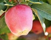 Delicious - 8x10 Fruit Photograph - Red Apple on the Tree - Kitchen Art