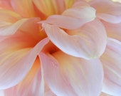 Photography - Whisper - 8x10 Flower Photograph - Abstract Pale Pink Dahlia Closeup - IN STOCK
