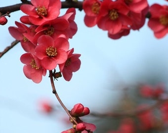 Nature Photography - Neighbors - 8x10 Flower Photograph - Quince Blossoms - IN STOCK