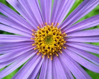 He Loves Me - Blank Floral Photo Note Card - Purple Aster - IN STOCK