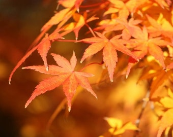 Amber - 8x10 Nature Photography - Autumn Leaves - Golden Maple Leaf Wall Decor - IN STOCK