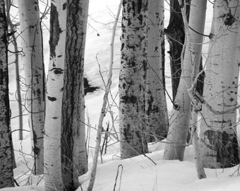 Crowd - 5x7 Black and White Photo - Birch Trees in Winter Landscape - IN STOCK