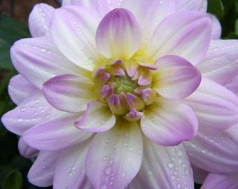 Flower Photography - Hello Dolly Purple - 8x10 Print - Dahlia after Rain