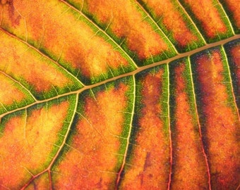 Change - 8x10 Nature Photography - Autumn Leaf Abstract