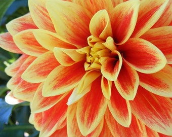 Hello Dolly Orange - 8x10 Flower Photograph - Red Orange Dahlia