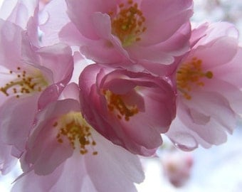 Blossoming - 5x7 Floral Photography - Pink Cherry Blossoms - IN STOCK