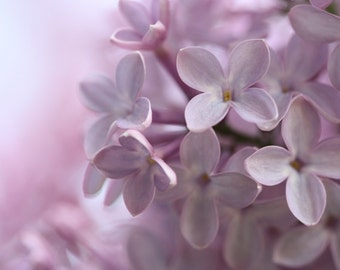 Innocence - 8x10 Flower Photograph - Pale Purple Lilac Blossoms - IN STOCK