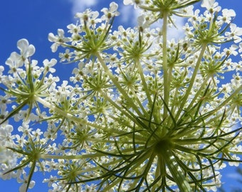 Spray - 5x7 Queen Anne's Lace Flower Photograph - IN STOCK
