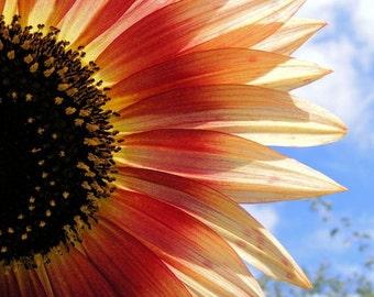 Halved - 8x10 Flower Image - Orange Sunflower Art Photograph - Wall Decor