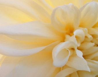Glow - 8x10 Abstract Flower Photo - Cream Dahlia Closeup Photograph - IN STOCK