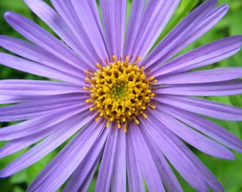 He Loves Me - 8x10 Fine Art Flower Photograph - Purple Aster Picture