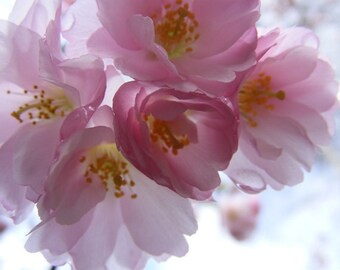 Blossoming - 8x10 Flower Photo - Pink Cherry Blossom Photograph - Art for Girls Room - IN STOCK