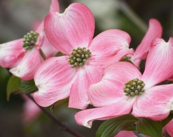 Fade - 8x10 Fine Art Photograph - Trio of Pink Dogwood Blossoms