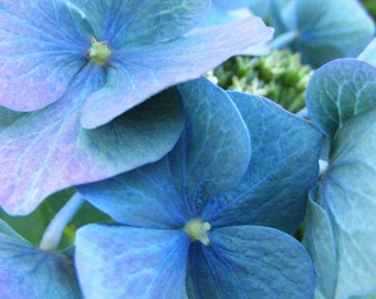 Tinge - 8x10 Fine Art Flower Photograph - Picture of  Blue Hydrangea Blossoms - IN STOCK