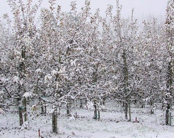Snow Orchard - Blank Photo Note Card - Scenic Winter Landscape - IN STOCK