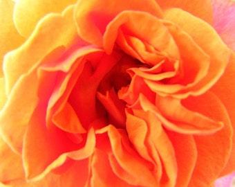 Abstract Flower Photography - Unfolding - 8x10 Print - Orange Rose Closeup