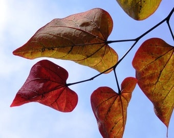Photography - Hearts Afire - 8x10 Nature Photograph - Red and Gold Autumn Leaves against a Blue Sky