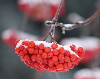 Blanketed - 8x8 Fine Art Nature Photography - Red Mountain Ash Berries under Snow in Winter