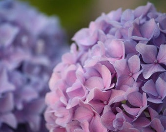 Pom Poms - 8x10 Flower Photograph - Pink and Purple Hydrangea Blossoms
