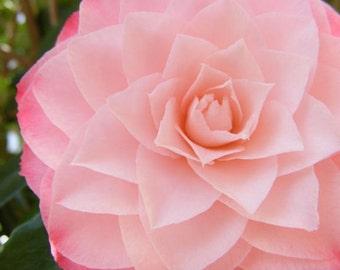 Hint - 8x10 Fine Art Nature Photograph - Camellia Closeup