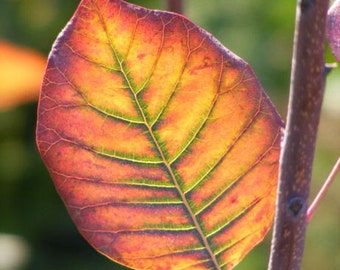 Radiance - Nature Photography - Colorful Autumn Leaf - 4x6, 5x7, 8x10, 11x14, 16x20