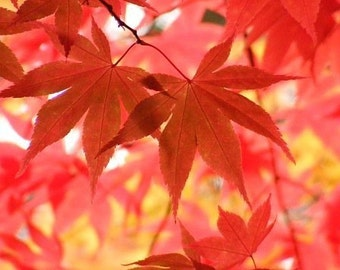 Finale - 8x10 Fine Art Nature Photograph - Autumn Leaves - IN STOCK