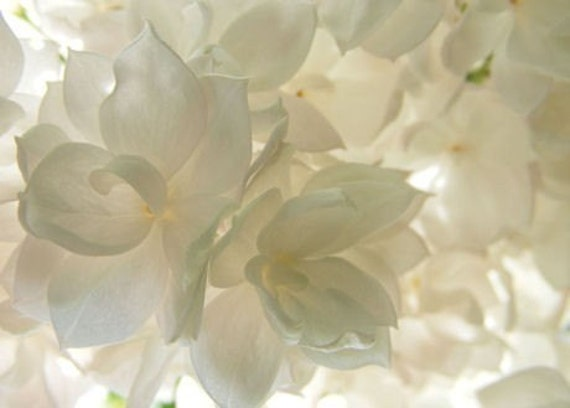 Translucence ACEO - 2.5 x 3.5 Photographic Print Art Card - White Lilac Blossoms - IN STOCK