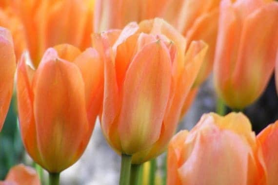 Softly - Blank Floral Photo Note Card - Peach Tulips - IN STOCK