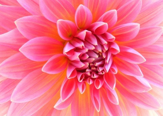 Photography - Hello Dolly Pink - 5x7 Flower Photo - Honeysuckle Pink Dahlia Art Print - IN STOCK