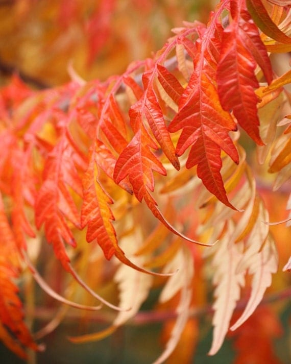 Feathers - 8x10 Nature Photograph - Autumn Leaves in Orange