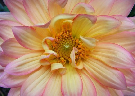 Edged - 5x7 Floral Art Print - Pastel Pink and Yellow Dahlia Photograph - IN STOCK