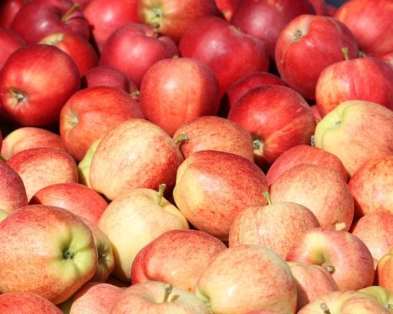 Abundance - 8x10 Photographic Print - Red Gala Apples - Kitchen Art