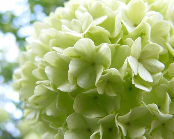 Bouquet - 8x10 Nature Photograph - Pastel Green Snowball Blossoms - Photographic Art - IN STOCK