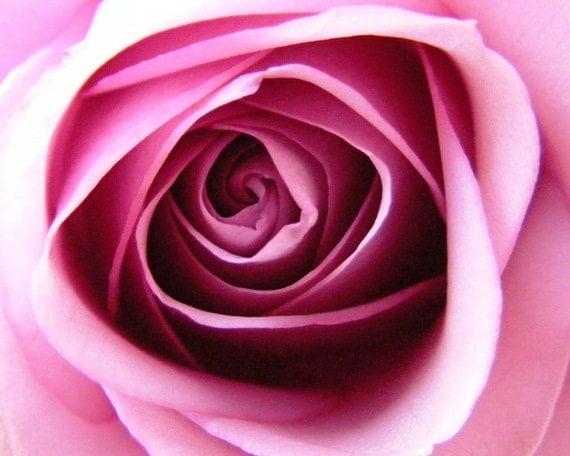 Wound Up - 8x10 Pink Rose Photography - Flower Closeup - IN STOCK