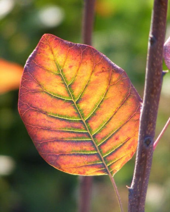 Radiance - 8x10 Nature Photography - Colorful Autumn Leaf