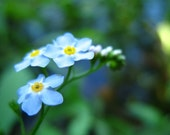 Forget-me-not - Fine Art Photograph 8x10, Matted to Fit 11x14