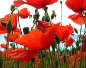RESERVED Poppies 1 - Fine Art Photograph