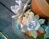 Ghost Plant - Graptopetalum paraguayense - my best seller