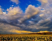 Sunflowers field in the storm light
