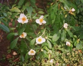 Fine Art Photograph of Flowers in Bartrams Garden 8 x 10 Photograph Franklinia