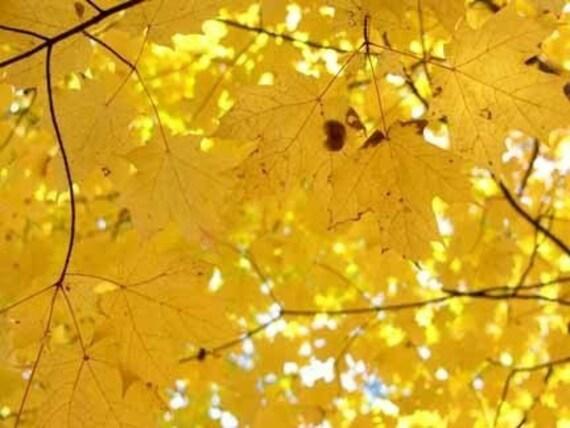 Yellow Maple Leaves 8 x 10 Wissahickon Park Trail Photograph