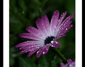 Rain Drops On Petals 5x7 Print