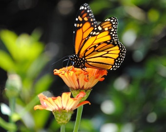 Monarch Butterfly Fine Art Photograph